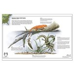 Newt Life Stages Large Poster