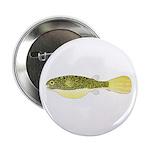 Mbu Giant Freshwater Puffer fish 2.25