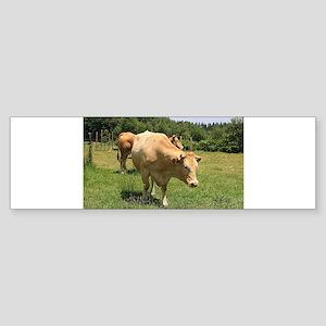 Cows in field, El Camino, Spain 2 Bumper Sticker