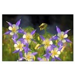 Colorado Blue Columbine Large Poster