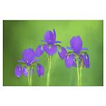 Purple Iris Large Poster