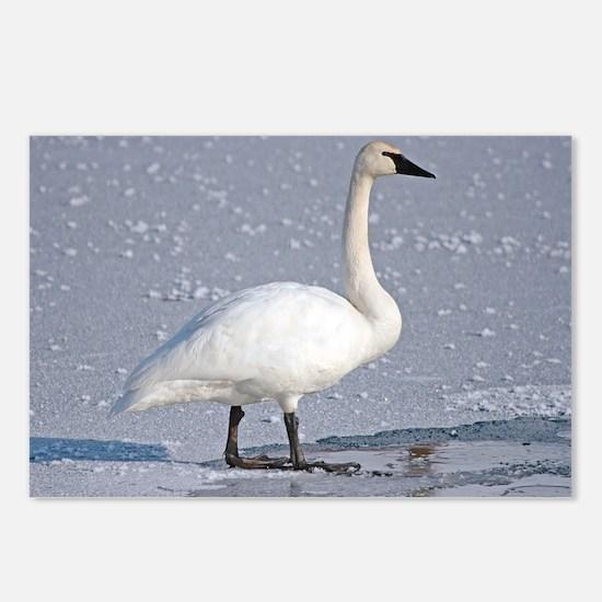Unique Swans Postcards (Package of 8)