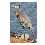 Great Blue Heron Postcards (Package of 8)