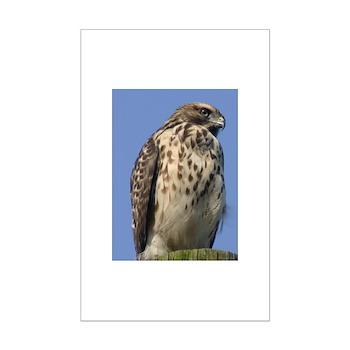 Red-shouldered Hawk Mini Poster Print