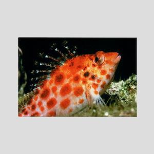 Coral Hawk Fish Rectangle Magnet