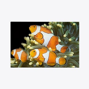 Clown Fish Trio Rectangle Magnet