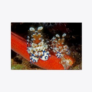 Harlequin Shrimp Rectangle Magnet