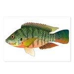 Redbreast tilapia Postcards (Package of 8)