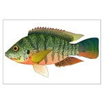 Redbreast tilapia Posters