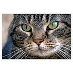 Bob Cat Closeup Poster