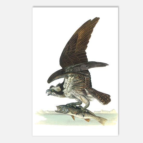 Osprey Bird Postcards (Package of 8)