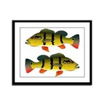 Peacock bass Framed Panel Print