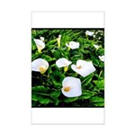 Field of Calla Lily Flowers Poster Print
