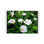 Field of Calla Lily Flowers Magnets