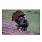 Strutting Tom Turkey Postcards (Package of 8)