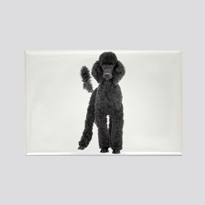 Poodle Picture - Rectangle Magnet (10 pack)