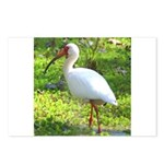 White Ibis Postcards (Package of 8)