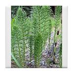 Horsetail Equisetum Tile Coaster