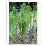Horsetail Equisetum Small Poster
