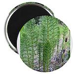 Horsetail Equisetum Magnet