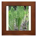 Horsetail Equisetum Framed Tile