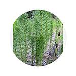 Horsetail Equisetum 3.5