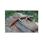 Ensatina Salamander Rectangle Magnet (100 pack)
