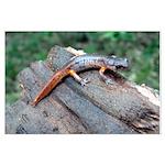 Ensatina Salamander Large Poster