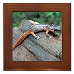 Ensatina Salamander Framed Tile