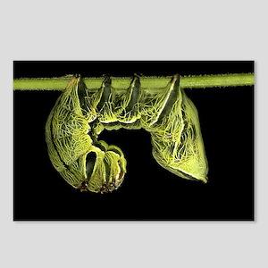 Crinodes Caterpillar - Costa Rica, 8 Postcards