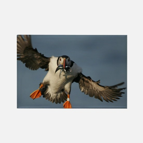Cute Maine puffin Rectangle Magnet