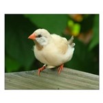 """White Finch #1 - 16"""" X 20"""" Small Poster"""