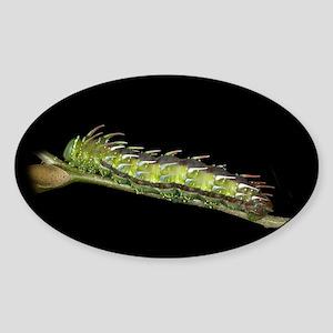 Syssphinx Caterpillar Oval Sticker