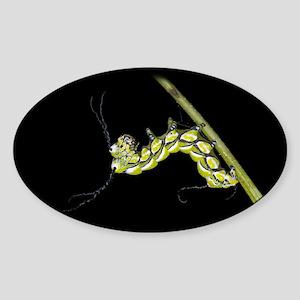 Brahmea Caterpillar Oval Sticker