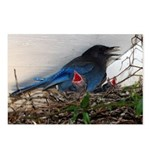 Baby Steller's Jays Postcards (Package of 8)