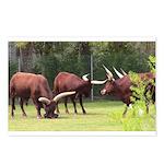 Long Horn Steer Postcards (package Of 8)
