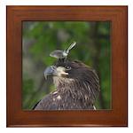 Harassed Eagle Framed Tile