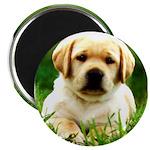 Yellow Labrador Puppy Magnet