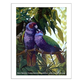 Imperial Amazon Parrot Small Poster Rare Species