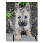 """Cairn Terrier """"Emma"""" Small Poster"""