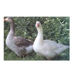Pilgrim Geese Postcards (Package of 8)