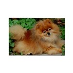 Orange Pomeranian Rectangle Magnet (10 pack)