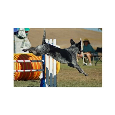 Blue Australian Cattle Dog in Agility Rectangle Ma