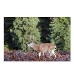 Buck in Afternoon Sunlight Postcards (Package of 8