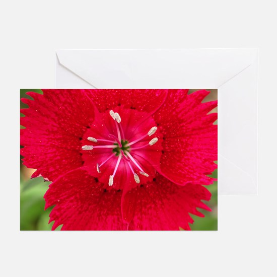 Red Dianthus Greeting Cards (Pk of 10)