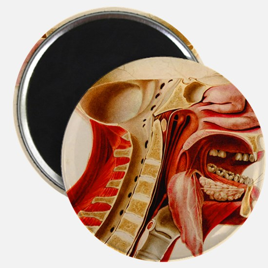 Vintage Anatomy Diagram Magnet