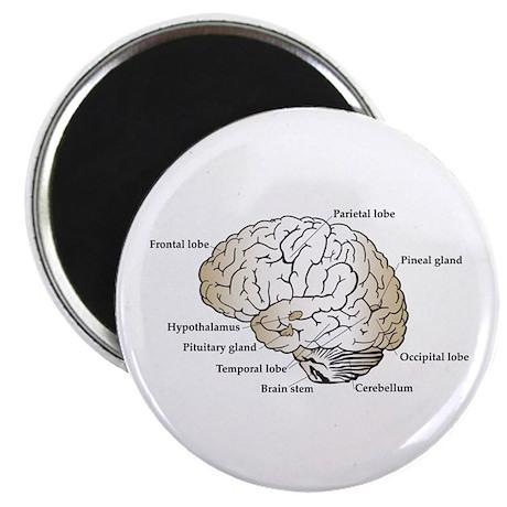 Brain Section Magnet