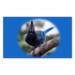 Steller's Jay Hollering Rectangle Sticker 50 pk)