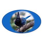 Steller's Jay Hollering Oval Sticker