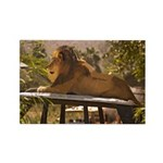 Lion on a Car Rectangle Magnet (100 pack)